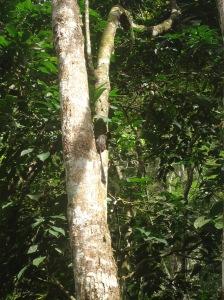 Mono pichico, centro de rescate de animales Cerelias Peru