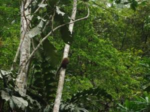 mono tocon, centro de rehabilitacion de animales Cerelias, Peru