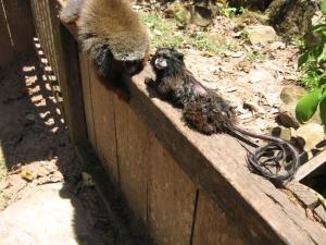 mono pichico, centro de rescate de animales Cerelias, Peru