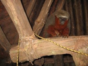 Mono Tocon, centro de rescate de animales Cerelias, Peru